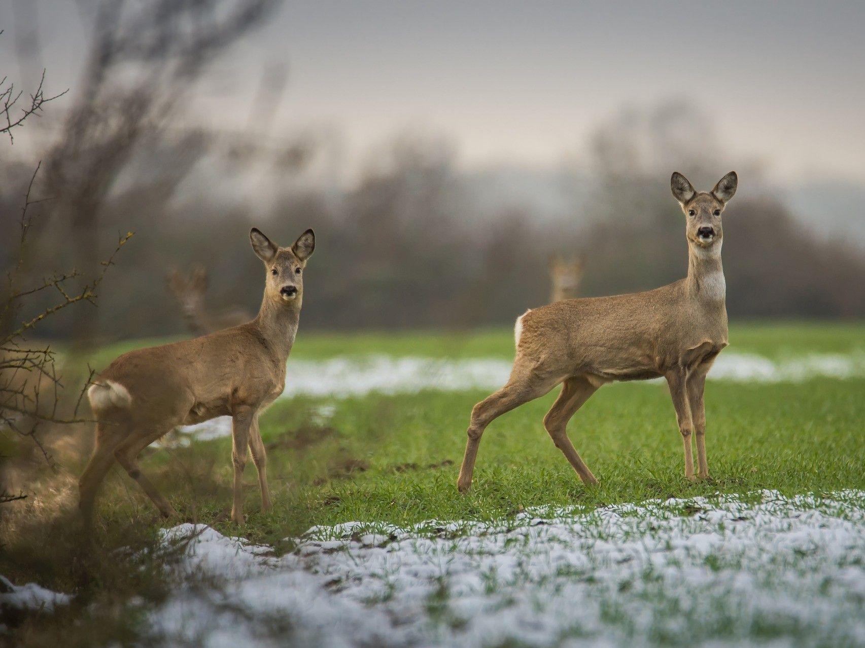 Polowania dewizowe na dziki i sarny