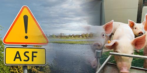 ARiMR: Rekompensaty za klęski żywiołowe lub ASF: wnioski od 11 marca